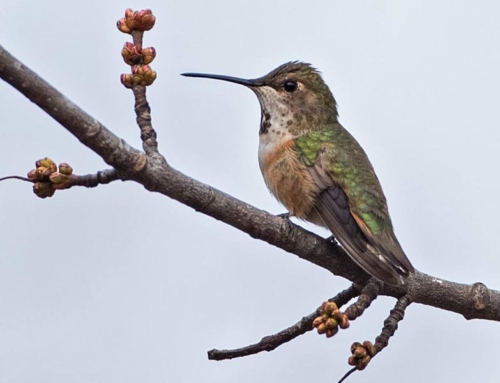 Second Rufous Hummingbird