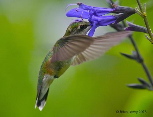 Humming-bird…a poem.
