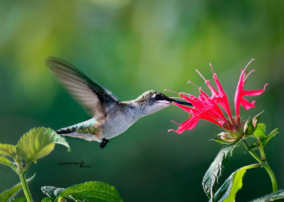 Ruby-throated-Hummingbird-photo-by-Teresa-Gemeinhardt