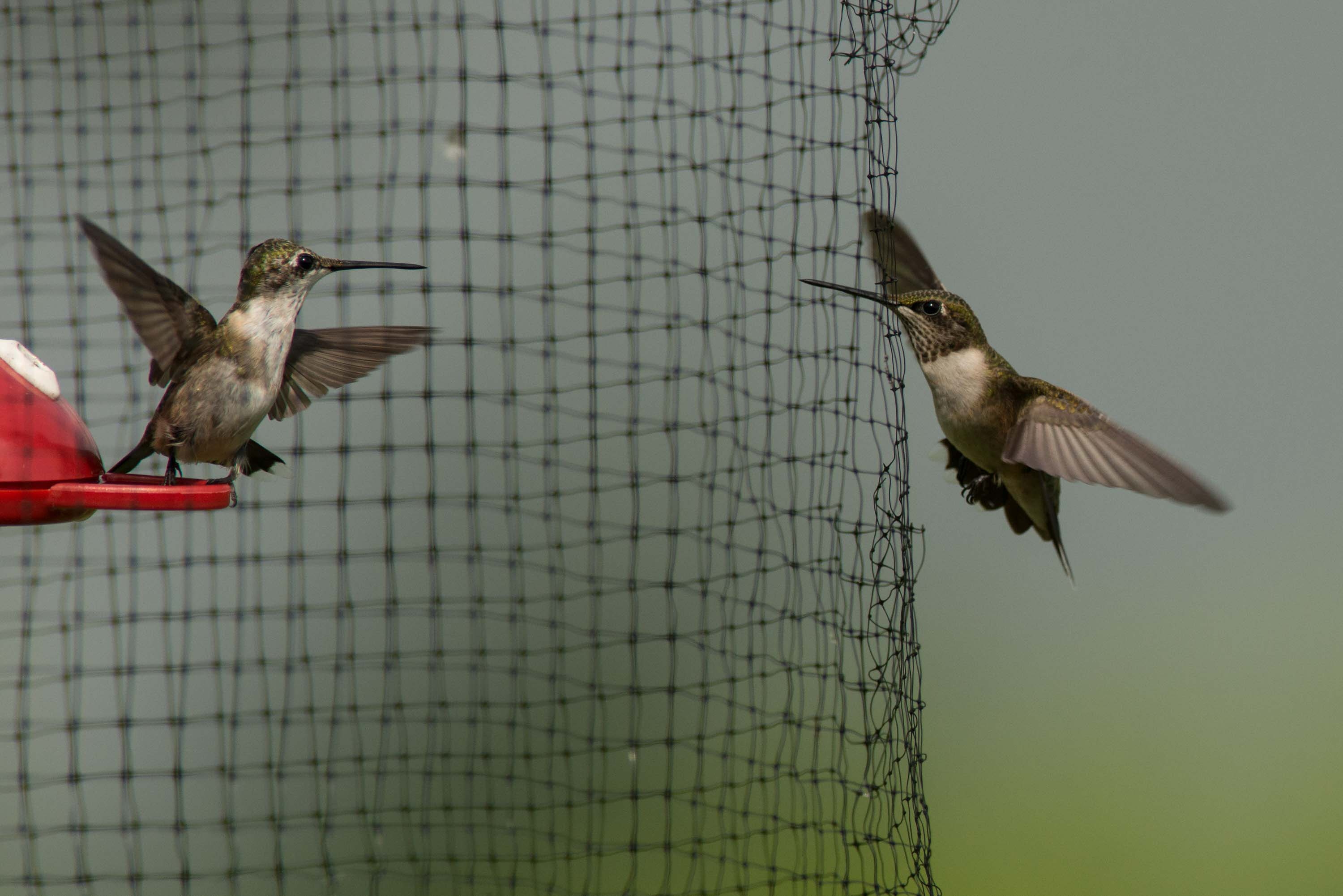 Banding Ruby-throated Hummingbirds